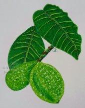 Grüne Walnüsse mit Blättern