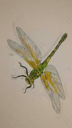Libelle - Grüne Jungfer A5