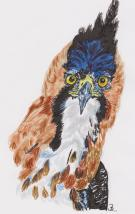 Ornate Hawk Eagle A5