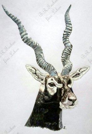 Schwarzrückenantilope A4